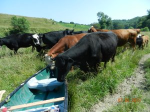 "Curious Cows,  ""What is this thing,  Looks like a feed bunk,  but no corn in it !!"""