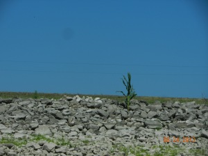 One lone cornstalk growing on bank