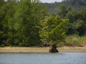 Cypress tree along edge of warer