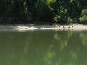 A bunch of turkey bulture feeding on dead fish along the shore.