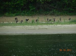 Flock of wild turkeys along shoreline